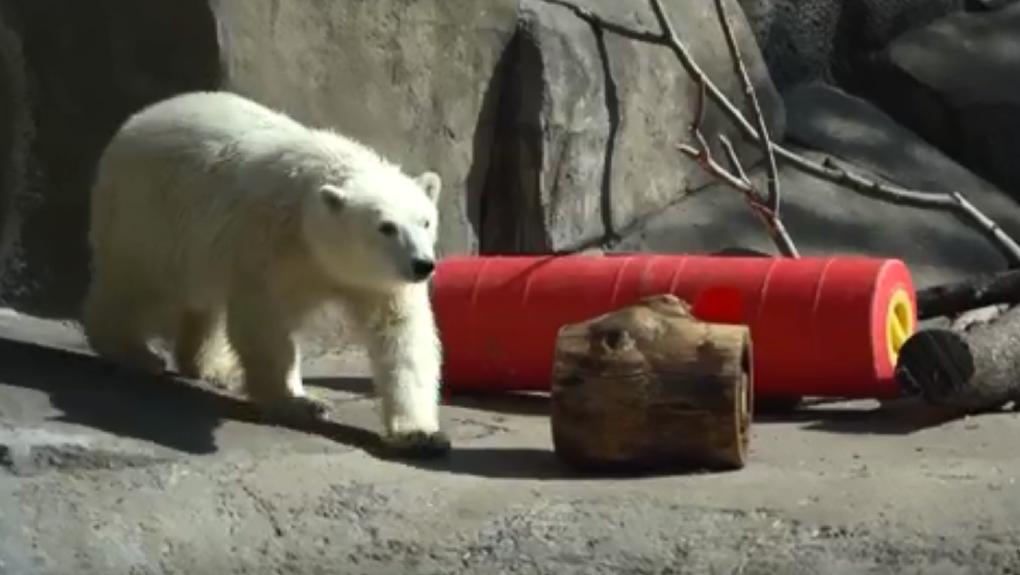 В зоопарке Екатеринбурга нашли замену умершему белому медведю Умке