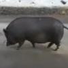 По Омску разгуливает жирная черная свинья