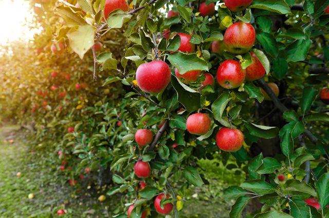 А наши яблоки где?