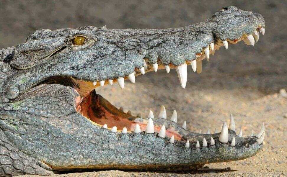 Почему крокодилы почти не изменились со времен динозавров?