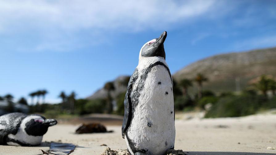 Зоологи расшифровали зовы африканских пингвинов