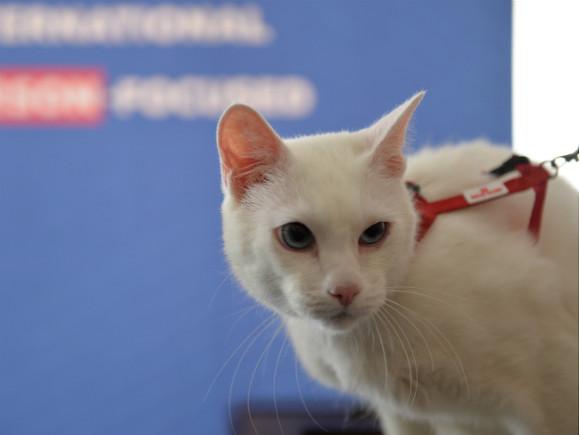 Эрмитажный кот Ахилл «предсказал» победу итальянцев в матче с турками на Евро-2020 (видео)